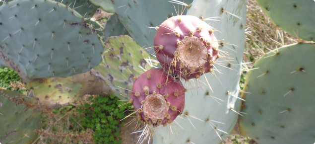 Wheel cactus fruit