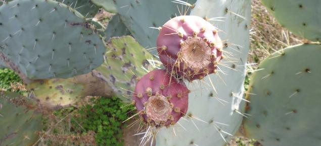 Wheel cactus fruit