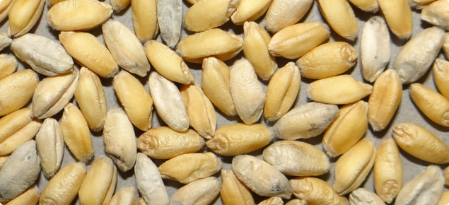 White grain affected wheat can be clearly differentiated from healthy grains (Photo: M. Evans, SARDI).
