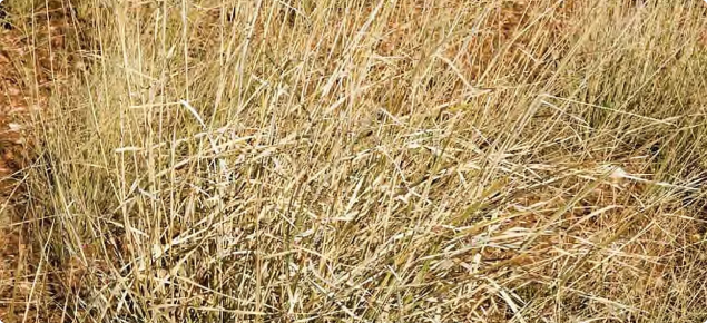 Photograph of white grass plants in the Kimberley, Western Australia