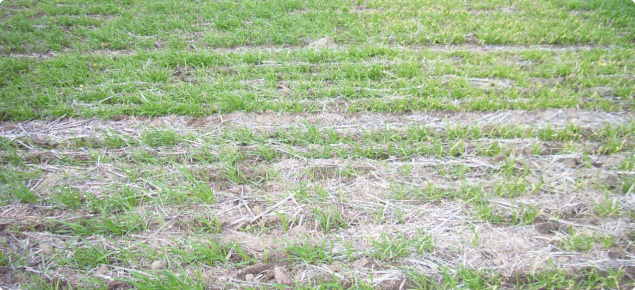 Comparing various levels of herbicide damage across a trial site.