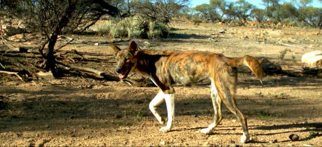 Wild dog, Western Australia, wild dog action plan, feral dog, declared pest, invasive species