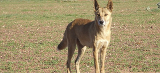 Wild dog targeted for baiting.