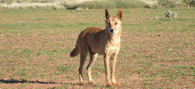 Wild dog in the rangelands