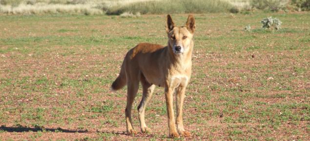 Wild dog in the rangelands
