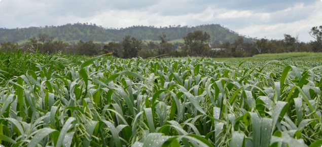 The foreground shows a trial plot of Williams oats at early pannicle emergence.  The crop is green against a background of an overcast day after a shower of rain.  The crop is still wet and on the horizon more clouds are forming behind low hills.