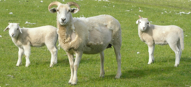 Wiltshire horn ewe and lambs