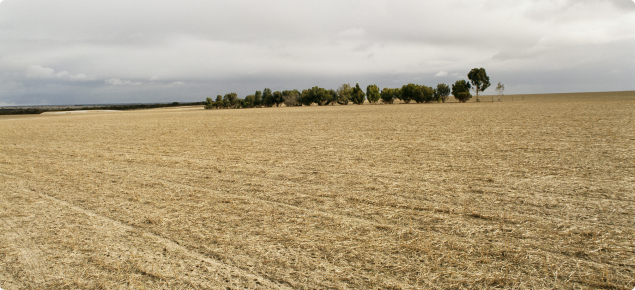 Paddock with stubble cover and windbreaks