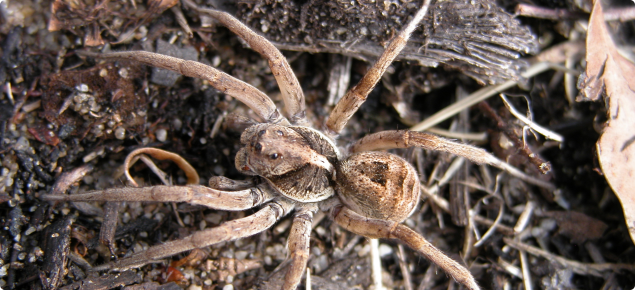 A wolf spider camoflaged in mulch, sand and leaf litter