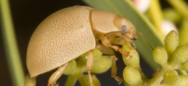 Close up showing the light brown Leaf eating ladybeetleon vegetation