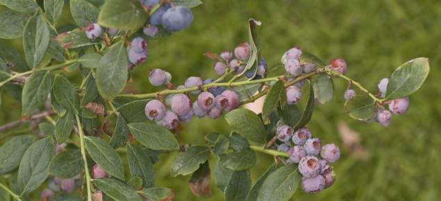 F086 Blueberry