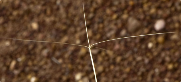 Erect kerosene grass has long awns that are attached to the seed spike with a spirally twisted column.