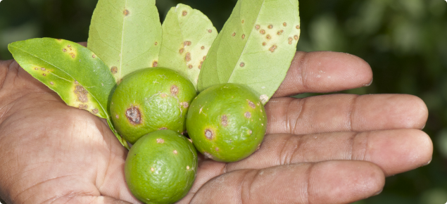 Citrus canker on fruit and leaves