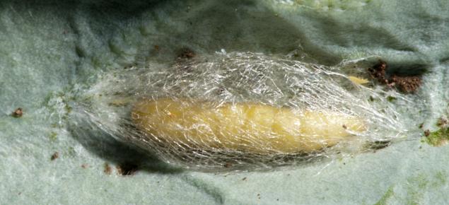 Diamondback moth pupa