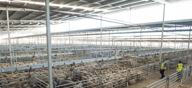 Inspectors at livestock saleyard looking at sheep
