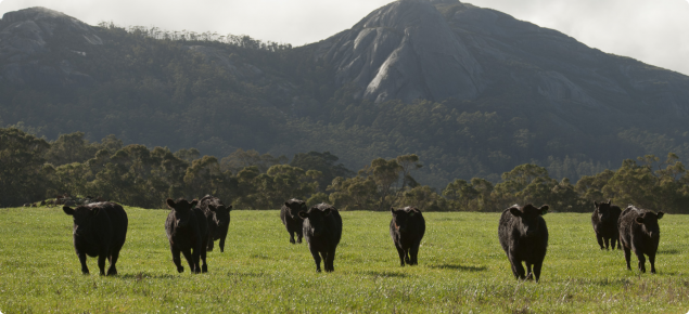 Angus cattle in paddock