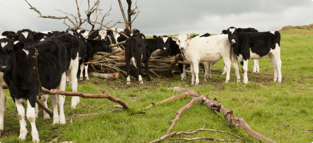 Cows standing in paddock with trees nearby