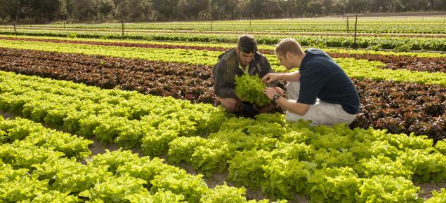 Growers in crop of lettuce