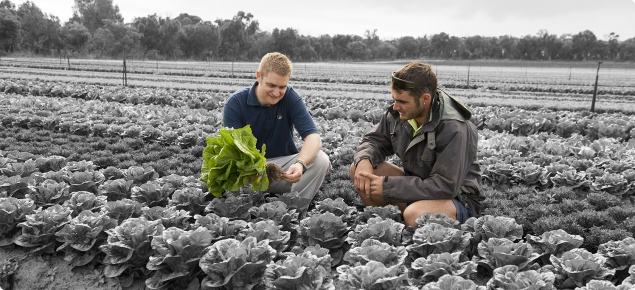 DAFWA Development Officer Rohan Prince and a vegetable farmer crouching in a field of lettuces with Rohan holding a lettuce plant in his hands inspecting the roots.