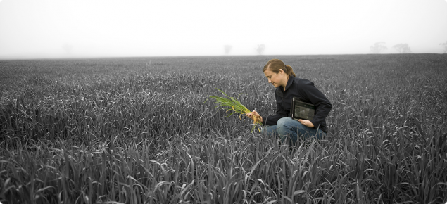 DAFWA Development Officer Kelly Ryan kneeling in a wheat field examining some wheat in one hand with an iPad tucked under her other arm.