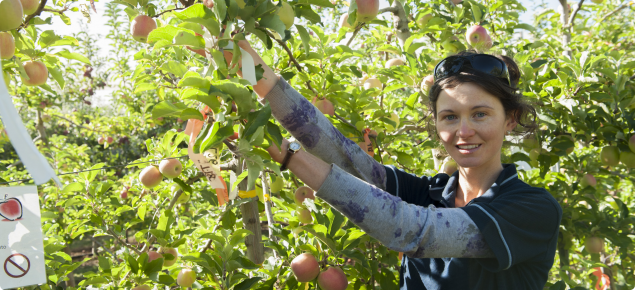 Technical Officer Lisa Starkie taking measurements at the Mannjimup apple netting demonstration site in Manjimup