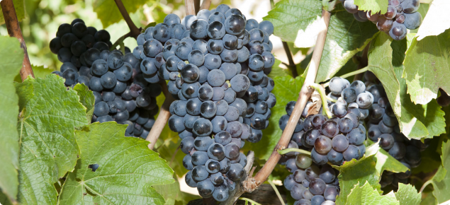 Gamay wine grapes