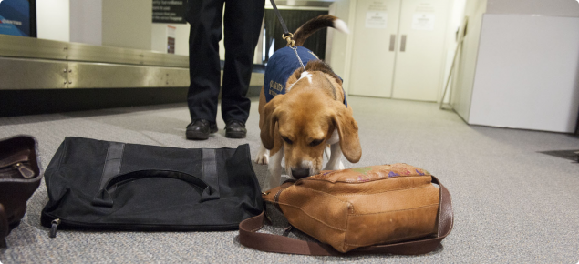 Perth Domestic Airport Checkpoint with Quarantine detector dog on duty
