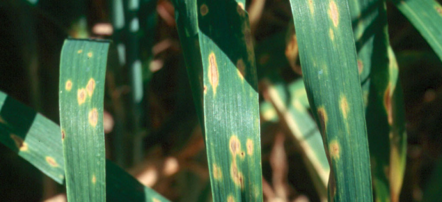 Yellow spot appears as yellow blotches on leaves, the blotches turn brown as they develop and expand.