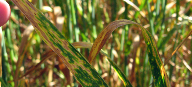 Yellow spot appears as tan elongated lesions with yellow margins, with leaf dying back from tip