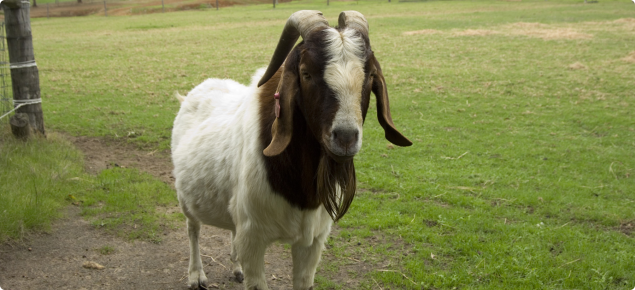 A goat with a white body and brown head with horns standing in a green paddock.