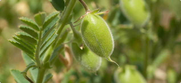 Closeup of a chickpea plant showing green pods