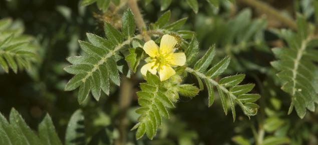 Yellow caltrop flower.