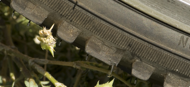 Caltrop burr caught in a car tyre.