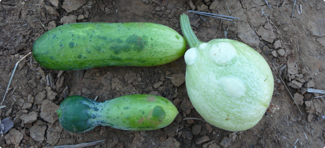 Cucumber, squash and melon fruit infected with ZYMV