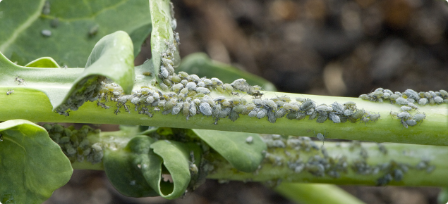 Grey coloured aphids swarming on a broccoli stem.