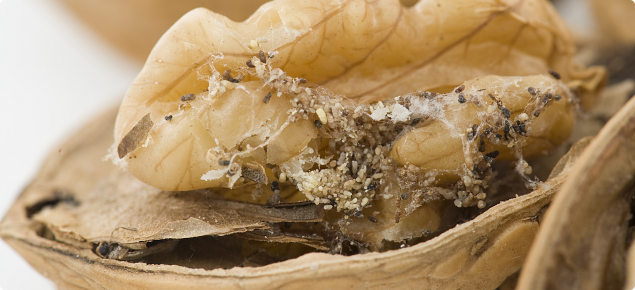 Pantry insects