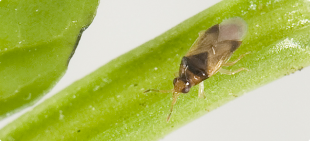 Orius armatus adult - predator of western flower thrips