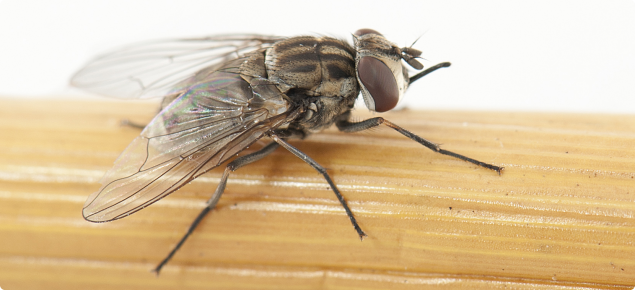 Stable fly is an aggravating insect with sharp mouthparts that are used to bite animals and draw blood.