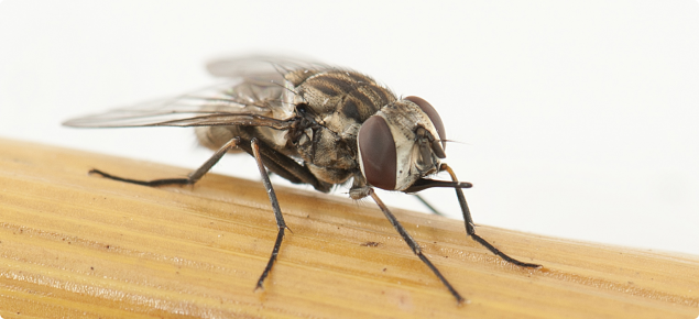 Stable fly is also known as biting fly due to its sharp mouth parts.