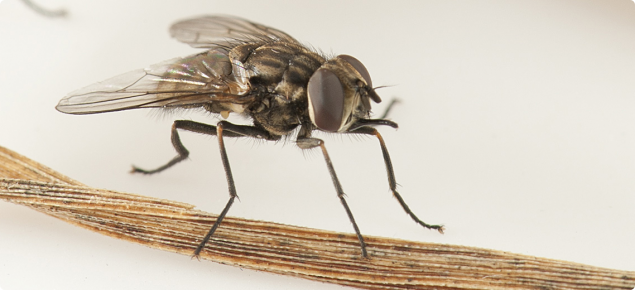 Stable fly is an aggravating pest that seeks animal blood for its life cycle.