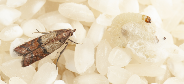An Indian meal moth.