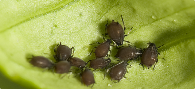 Brown citrus aphids