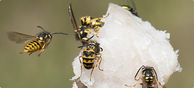 European wasps