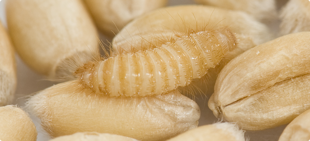Trogoderma variabile (Warehouse beetle) larva in grain