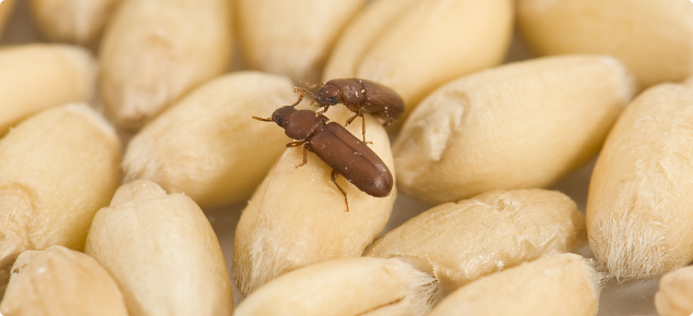 Rust-red flour beetle
