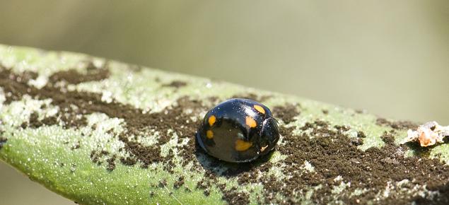 Ladybird Parapriasus