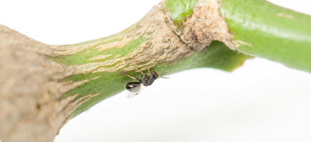 Tiny black wasp sitting underneath stem of a green citrus plant