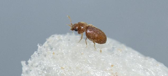 A cigarette beetle.
