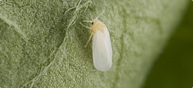 Whitefly Agriculture And Food
