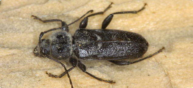 An adult European House Borer beetle on a piece of pine wood. The beetle is brownish-black in colour and 8-25mm in length with antennae about half as long as the body.